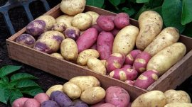 potato-selection940x627